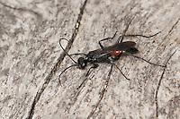 Wegwespe, Weg-Wespe, Priocnemis spec., Wegwespen, Pompilidae, pompilids, spider-hunting wasps, spider wasps