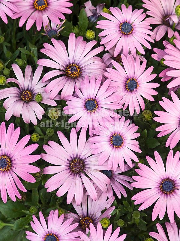 African Daisy, Osteospermum Sporanos Light Purple; African Daisy, Osteospermum Sporano Light Purple