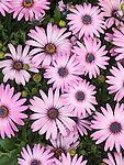 African Daisy, Osteospermum Sporanos Light Purple; African Daisy, Osteospermum Sporano Light Purple