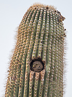 A Cactus Ferruginous Pygmy-Owl peers from its nest cavity after delivering prey to its young.