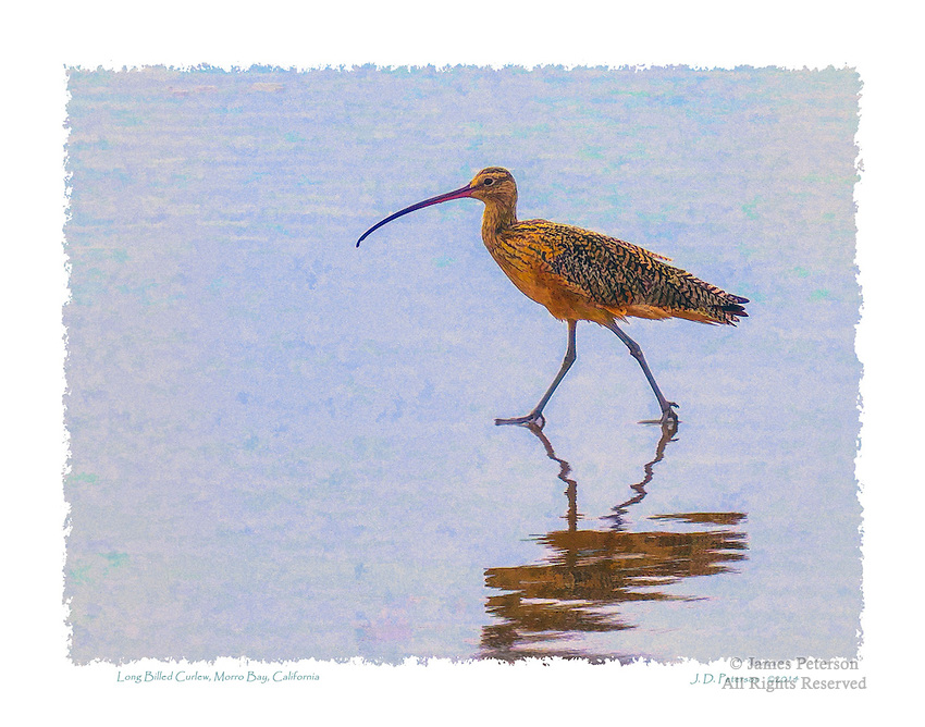 Long Billed Curlew, Morro Bay, California