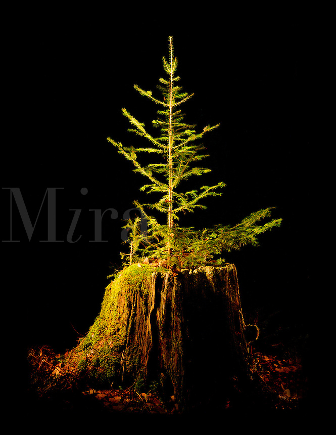Fir tree growing out of decaying tree stump.
