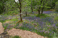 Mulched path trail through flowering meadow in Oak woodland clearing, Oregon White Oaks, Quercus garryana var. garryana - Camassia Nature Preserve, The Nature Conservancy protected park, Portland Oregon