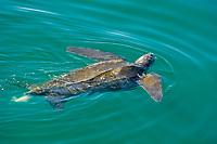 leatherback sea turtle, Dermochelys coriacea, defecating at surface, Baja California, Mexico, Gulf of California, Sea of Cortez, Pacific Ocean