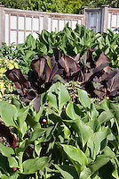 Green leaved and purple foliage canna growing together in garden, mixture of bold leaves