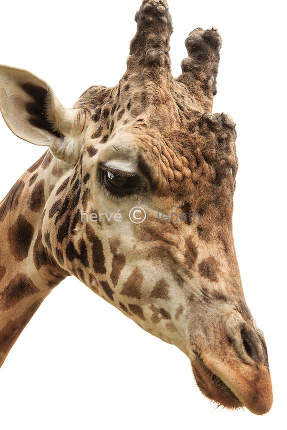 giraffe head (Giraffa camelopardalis) // tête de Girafe (Giraffa camelopardalis)