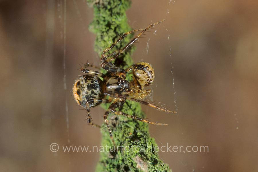 Spinnenfresser, Ero furcata, Pirate spider, Spinnenfresser, Mimetidae, Pirate spiders