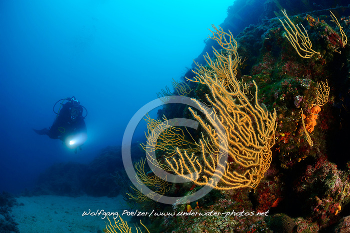Eunicella cavolini, Korallenriff mit Orange Gorgonien und Taucher, Coralreef with Orange or Yellow Gorgonian and scuba diver, Adria, Adriatisches Meer, Mittelmeer, Sveta Marina, Labin, Kroatien, Adriatic Sea, Mediterranean Sea, Sveta Marina, Labin, Istria, Croatia, MR Yes