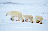 01874-10309 Polar Bear (Ursus maritimus) female & cubs walking on frozen pond, Churchill MB