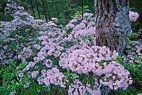 Mountain laurel blossoms, Pine Barrens, New Jersey