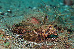 Dactylopus kuiteri, Orange & black dragonet, Ambon, Indonesia