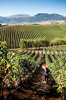 Harvest at 'Baglio di Pianetto' vineyard, Sicily, Italy
