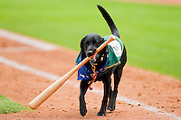 Miss Babe Ruth retrieves a baseball bat during the South Atlantic League game between the Kannapolis Intimidators and the Greensboro Grasshoppers at NewBridge Bank Park on May 16, 2012 in Greensboro, North Carolina.  The Grasshoppers defeated the Intimidators 10-8 in 11 innings.  (Brian Westerholt/Four Seam Images)