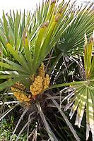 Europäische Zwergpalme, Zwerg-Palme, Palme, Blüten, Chamaerops humilis, Mediteranean Fan Fern, Palmito, European Fan Palm, Mediterranean Fan Palm, Palmier nain, Sizilien, Italien
