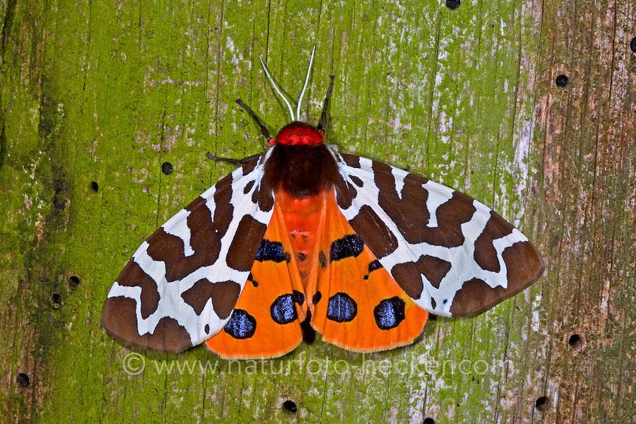 Brauner Bär, Bärenspinner, Arctia caja, garden tiger moth, great tiger moth, L'écaille martre, écaille hérissonne, Arctiidae