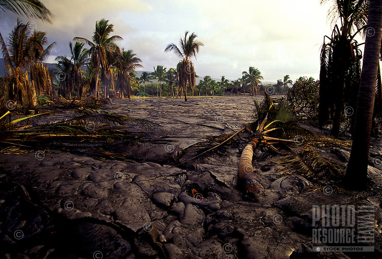 Charred and destroyed coconut palms in hardened lava at Kamoamoa, Hawaii Volcanoes National Park.