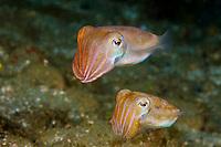 cuttlefish, Sepia sp., courting, Ambon Island, Maluku Islands, The Moluccas, Indonesia, Banda Sea, Pacific Ocean