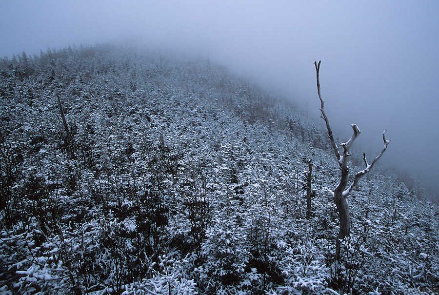 A lone tree stands tall amongst the snow-covered shrubs of a fog-shrouded New Hampshire peak.