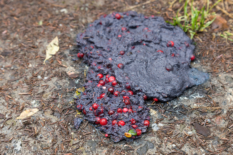 Brown bear scat with undigested cranberries, Katmai National Park, Alaska.