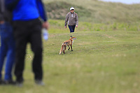 A fox appears on the 16th fairway during Round 4 of the East of Ireland Amateur Open Championship at Co. Louth Golf Club in Baltray on Monday 5th June 2017.<br /> Photo: Golffile / Thos Caffrey.<br /> <br /> All photo usage must carry mandatory copyright credit     (&copy; Golffile | Thos Caffrey)