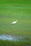 A White Ibis searches for food in the salt water marshes at the Pinckney Wildlife Refuge in Hilton Head, SC.