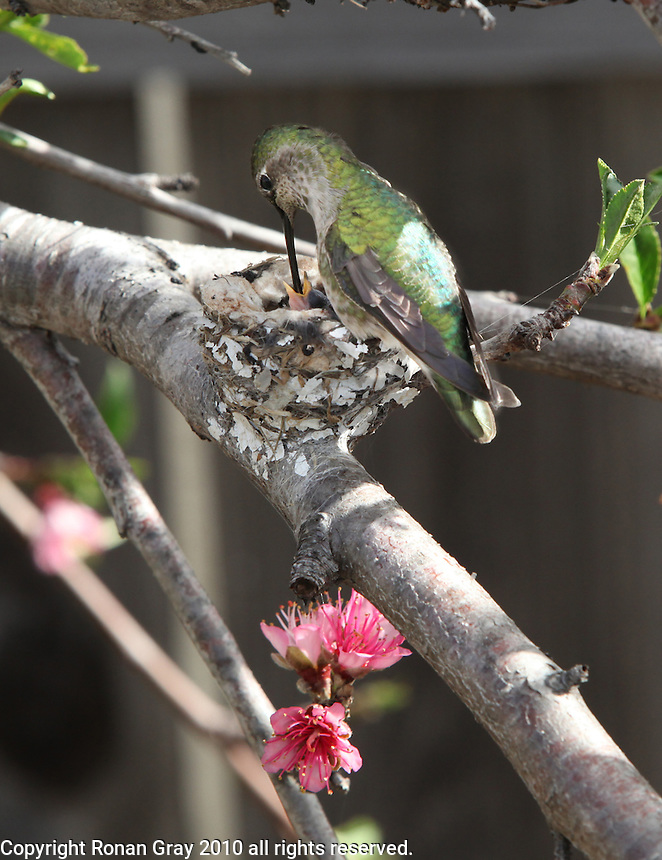 February 7 2010.  San Diego, California, USA:  A humming bird feeds a nest full of chicks in a backyard in Pacific Beach.  While much of the rest of the US struggled through blizzard conditions, early signs of spring were visible in Southern California.