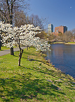 A small tree is in prime spring bloom on the Esplanade, a park on the banks of the Charles River in Boston, Massachusetts