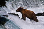 Alaskan brown bear looking up from base of Brooks Falls in Alaska
