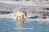 01874-12314 Polar bear (Ursus maritimus) walking on frozen pond, Churchill Wildlife Management Area, Churchill, MB Canada