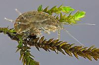 Gewöhnlicher Bachflohkrebs, Bach-Flohkrebs, Gewöhnlicher Flohkrebs, Gammarus pulex, Freshwater shrimp, freshwater arthropod, Bachflohkrebse, Flohkrebse, Gammaridae
