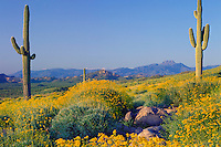 Brittlebush, saguaros and Four Peaks<br />