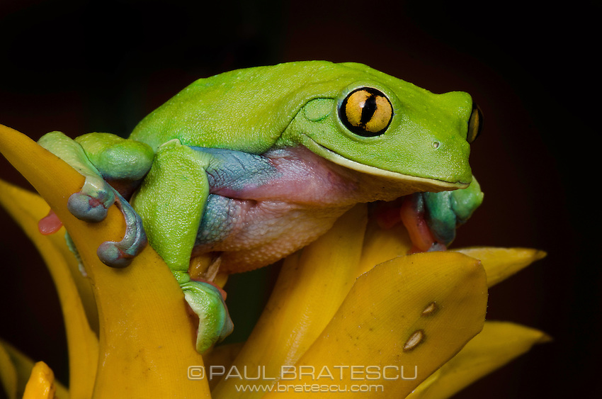 Yellow-eyed Tree Frog (Agalychnis annae)