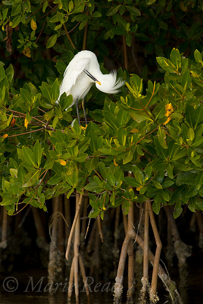 Snowy Egret perched in Red Mangrove (Rhizophora mangle), preening, Little Estero Lagoon, Ft. Myers, Florida, USA