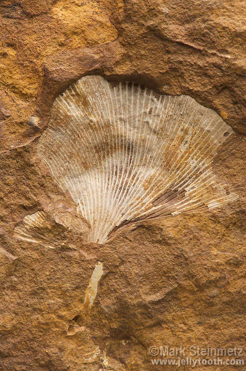 "Fossil Ginkgo Leaf (Ginkgo adiantoides). Paleocene. Ft. Union, Morton County, North Dakota, USA. This was the last extant Ginkgo species widely distriuted across the Northern Hemisphere, and largely disappeared from the fossil record except for a small area of China where modern Ginkgo biloba species persist today as ""living fossils"".  It is uncertain whether or not the two may be the same species."