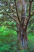 ORCOC_D269 - USA, Oregon, Siuslaw National Forest. Huge Sitka spruce (Picea sitchensis) tree in coastal rainforest with dense understory plants.