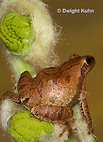FR16-543z  Spring Peeper on young unfolding ferns, Hyla crucifer or Pseudacris crucifer