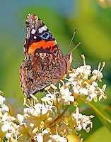 Red admiral on blooming ligustrum