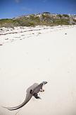 EXUMA, Bahamas. Iguanas on Guana Cay.