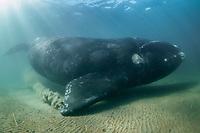 southern right whale, Eubalaena australis,  Nuevo Gulf, Valdes Peninsula, Argentina, South Atlantic Ocean