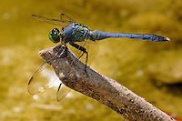 The Eastern Pondhawk (Erythemis simplicicollis), also known as the Common Pondhawk, is native to the eastern two-thirds of the United States. The species is distinguished in that the female is bright green and the adult male is nearly entirely blue.