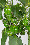 Sweet pepper 'Popti'. Plant of the Year. RHS Chelsea Flower Show 2017.