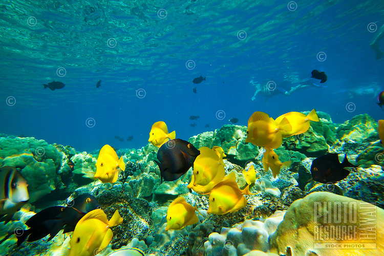 A snorkeler's view of yellow and achilles tang and surgeon fish at Kealakekua Bay, Big Island