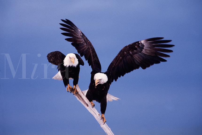 A pair of Bald eagles (Haliaeetus leucocephalus) balanced on a stick in preparation for flight.