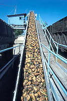 sugar beets loading on conveyor belt