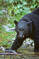 Black Bear with salmon along coastal stream, Pacific Northwest.  Summer.