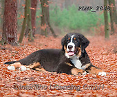 Marek, ANIMALS, REALISTISCHE TIERE, ANIMALES REALISTICOS, dogs, photos+++++,PLMP2848,#a#, EVERYDAY