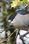 Black-crowned night heron (Nycticorax nycticorax), Crystal River NWR, Florida
