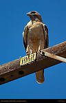 Red-tailed Hawk, Light Morph, Southern California
