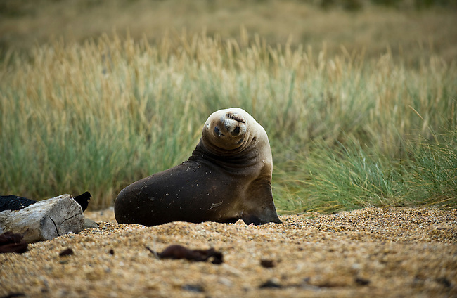 A Sea Lion in the Catlins, South Island of New Zealand.