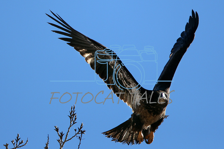 An immature bald eagle flies over a ranch in Minden, Nev. on Monday, Jan. 21, 2013. .Photo by Cathleen Allison